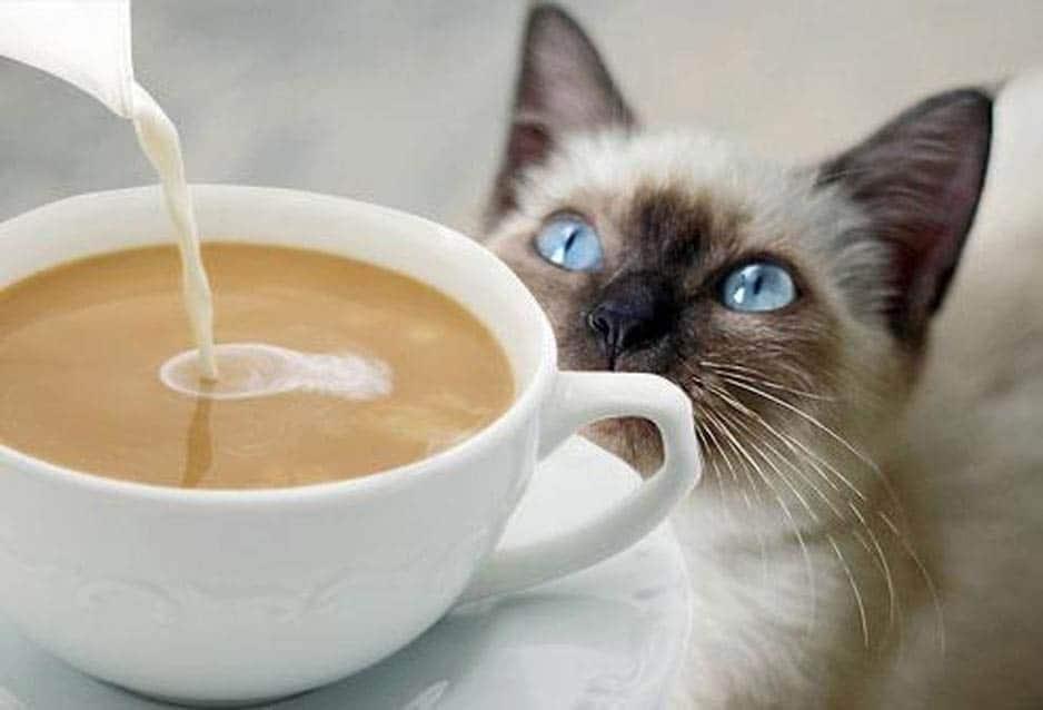 gato_café-cat coffee tricurioso