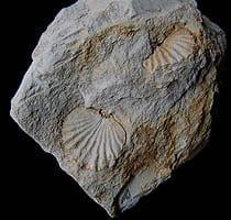 concha06-fossil-concha tricurioso
