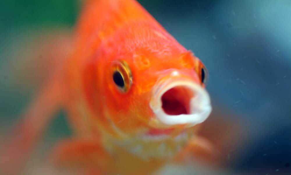 como-os-peixes-fazem-para-respirar-embaixo-dagua-tricurioso02
