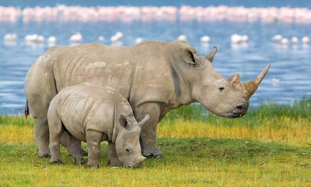Tem Na Web - 13 curiosidades interessantes sobre os rinocerontes