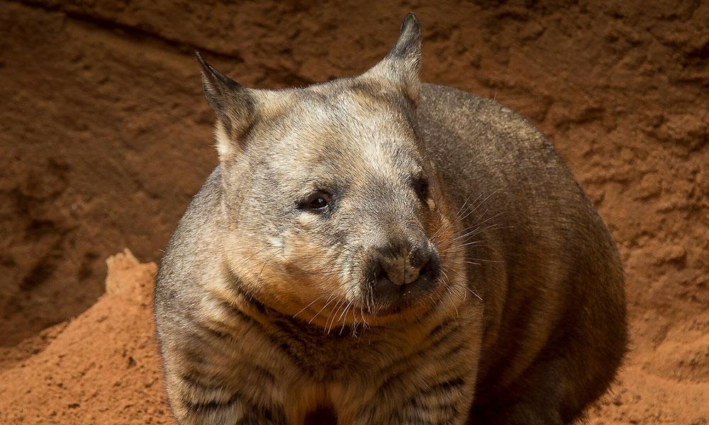 Tem Na Web - Conheça o marsupial que faz cocôs quadrados