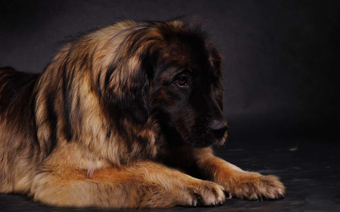 Quais Os Maiores Cães Do Mundo?