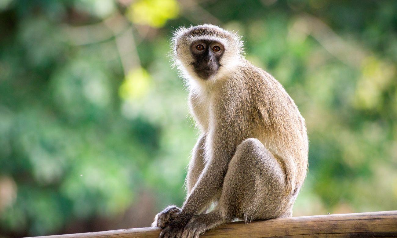 Fatos surpreendentes sobre os macacos