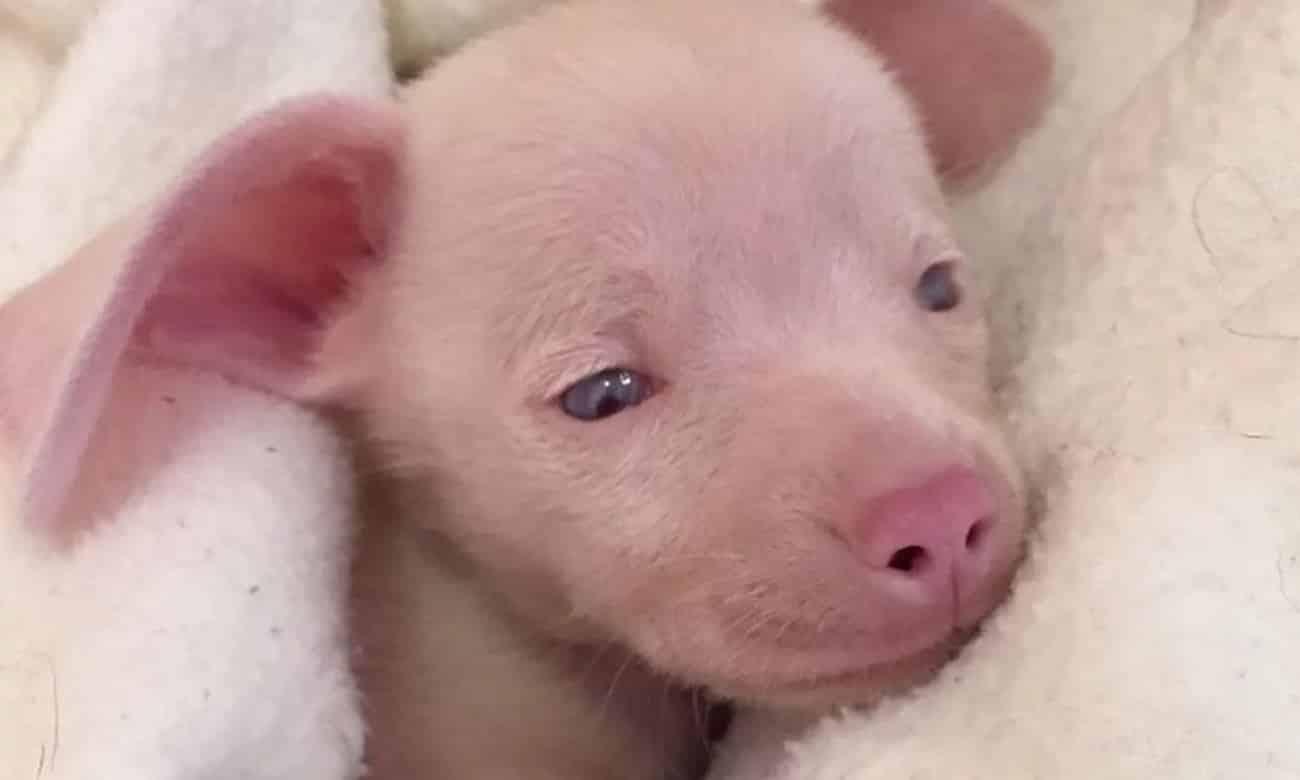 Conheça Piglet, o cãozinho que nasceu surdo e cego