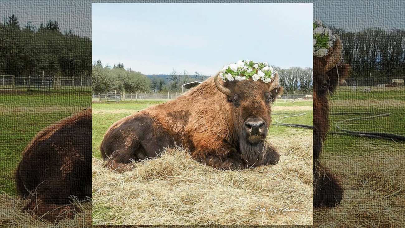 Conheça Helen, uma bisonte cega que fez amizade com um bezerro