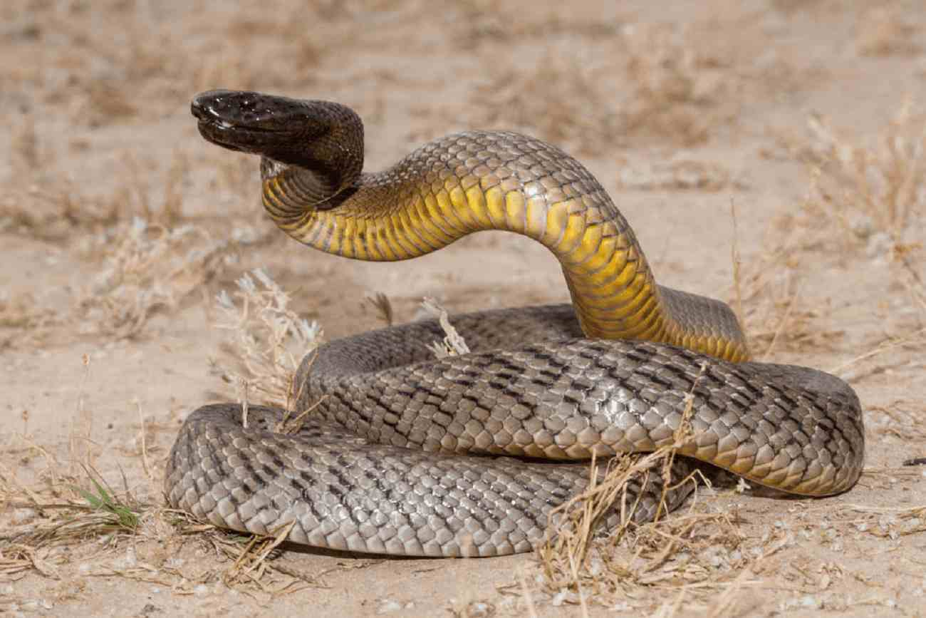 Quais São as Cobras Mais Venenosas do Mundo?